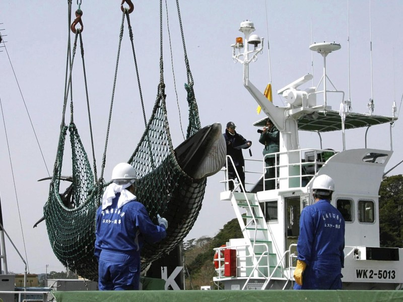 A minke whale is lifted from a 'research' whaling vessel in Ishinomaki, Miyagi Prefecture, in April 2008. Japan is set to resume commercial whale hunting and will withdraw from the International Whaling Commission.Photo: Yomiuri Shimbun / AFP
