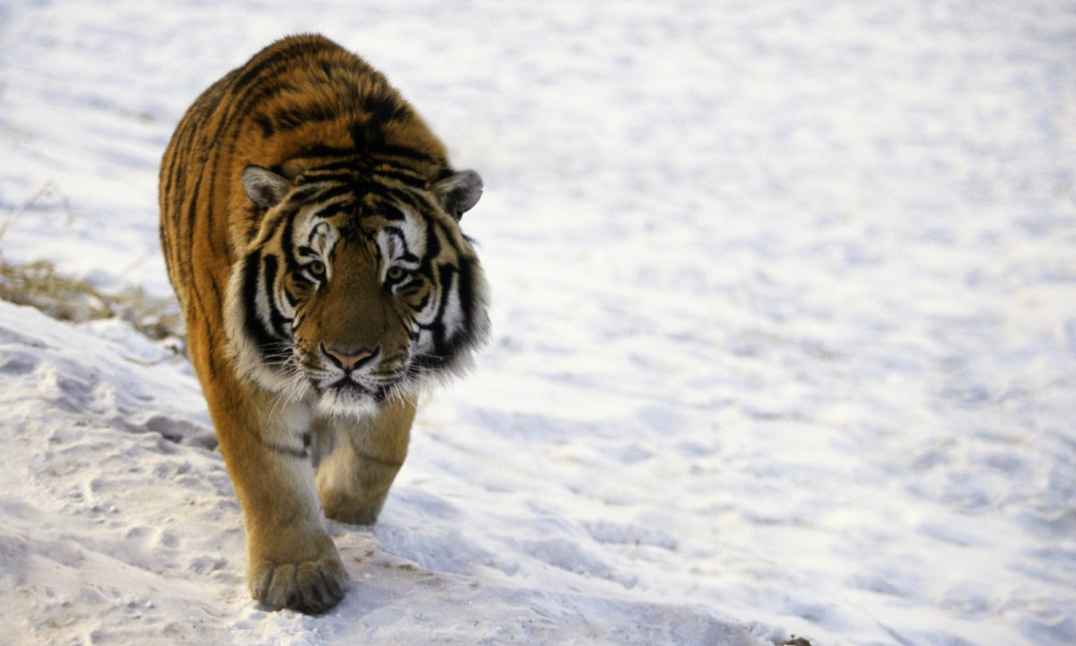 Siberian tiger. Photo: iStock.