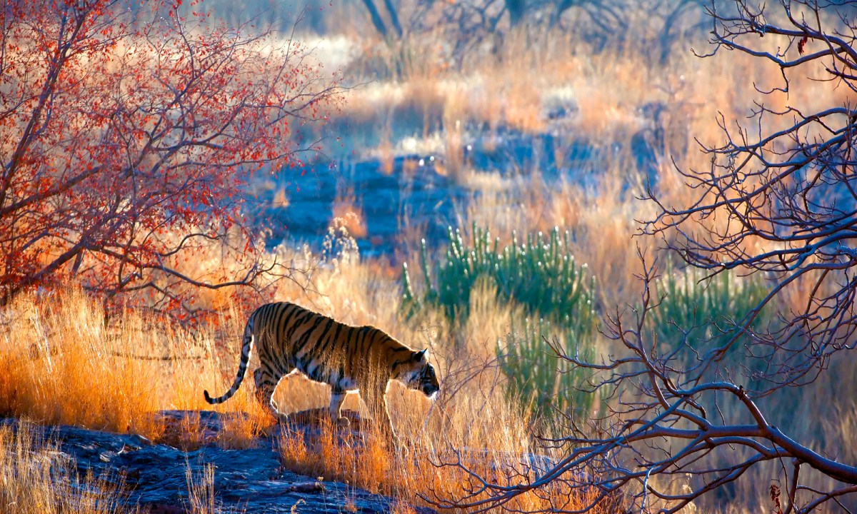 A tiger in the wild. Their numbers are shrinking. Photo: iStock