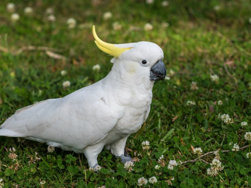 A yellow-crested cockatoo. Photo: iStock.