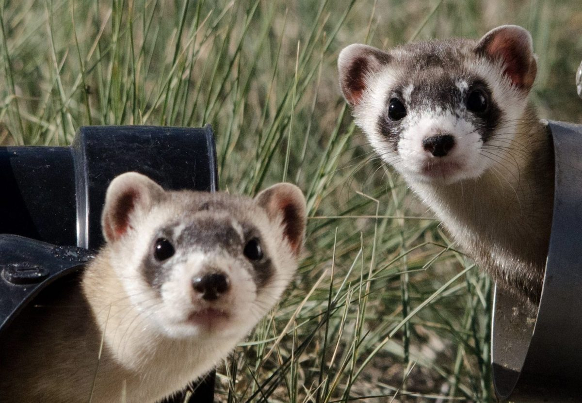 Ferrets used in first Covid-19 vaccine animal trial - Asia Times
