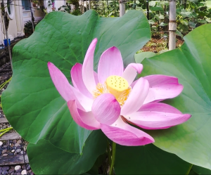 Lotus Flower in the garden of the Pagoda of Ten Thousand Buddhas