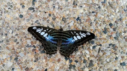 Beautiful Blue and Black Butterfly sat on the floor