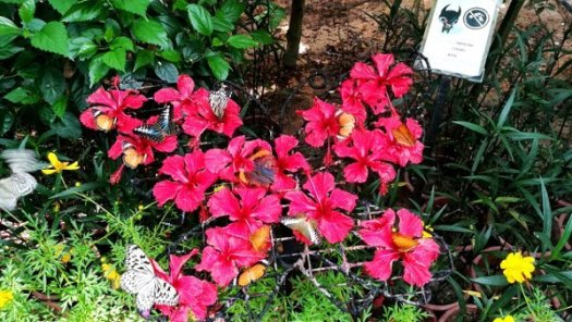 Bunch of Red Hibiscus became a Feeding Area for Butterflies