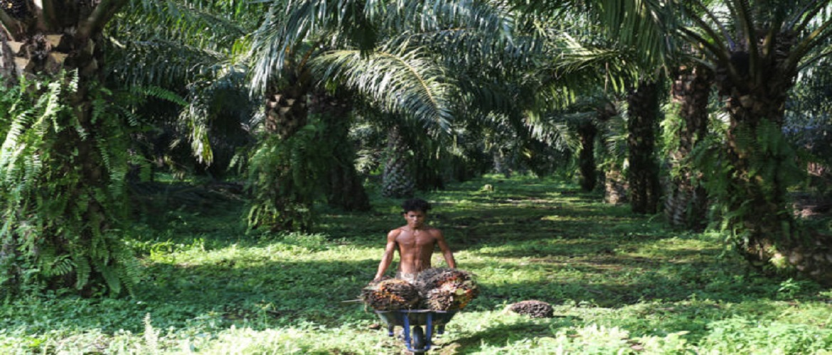 REPLANTING THE OIL PALM TO SAVE FORESTS