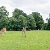 Dunham Massey Wild Deer Manchester, UK