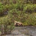 Bus Tour Review- What to Do Denali National Park
