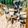 Paws For Adventure Sled Dog Rides Fairbanks Alaska