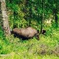 Wildlife-Sighting-Denali-Fairbanks-Alaska-3682