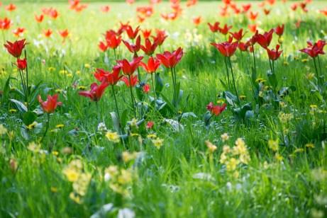 Łazienki Królewskie w Warszawie i wiosenne tulipanowe łąki