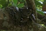 große, träge Schlange