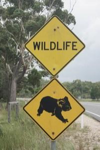 Achtung, wilde Tiere! Koala