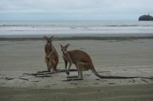 Wallabys - Cape Hillsborough