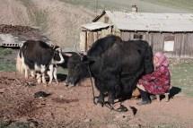ab etwa 4000m Höhe werden Yaks gehalten