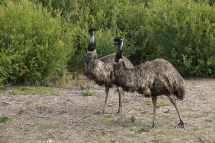 mannshohe Emus - Wilsons Promontory NP