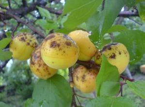 Лечение монилиального ожога абрикоса. Как лечить монилиоз или серую гниль абрикоса