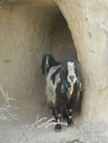 Two goats I startled out of their shady refuge. Sorry goats.