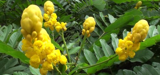 Cassia Alata Uses That You should Know