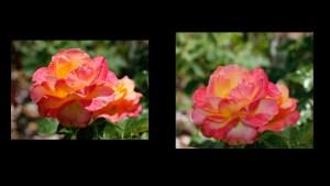 peace rose r