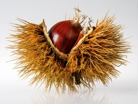 chestnut in spiky casing