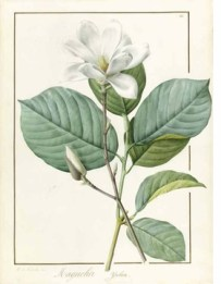pierre-joseph-redout-botanical-artist-to-the-court-of-france-106