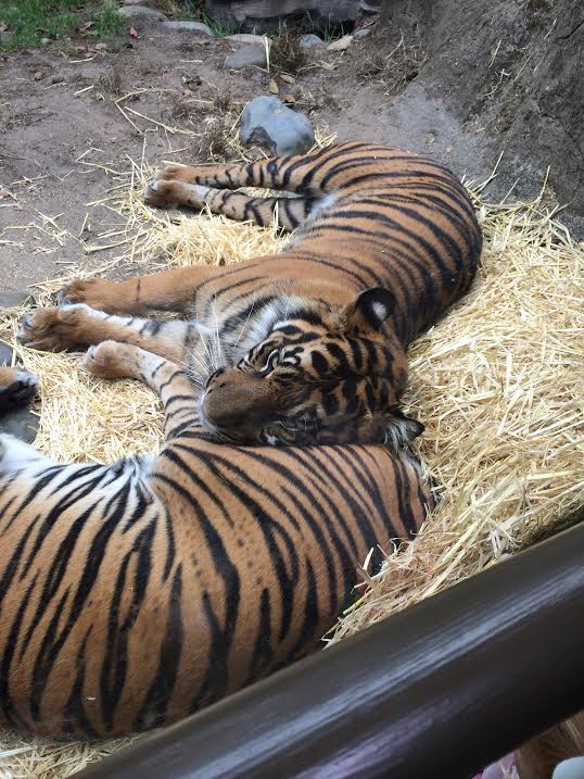 Young tigers cuddling.