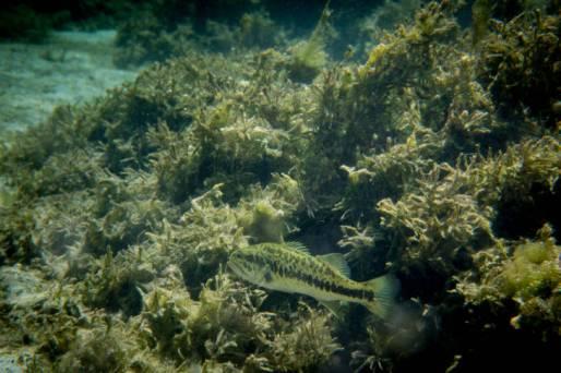 Largemouth Bass