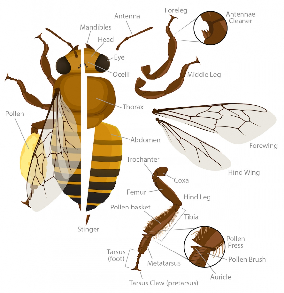 Honey Bee Anatomy Ask A Biologist