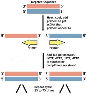 PCR  Amplifying DNA | Ask A Biologist