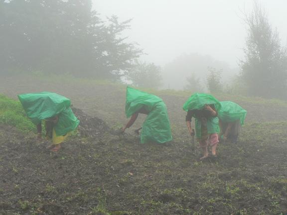 Planting Millet in Musniari, Uttarakhand