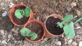 Courgettes ready for planting in polytunnel