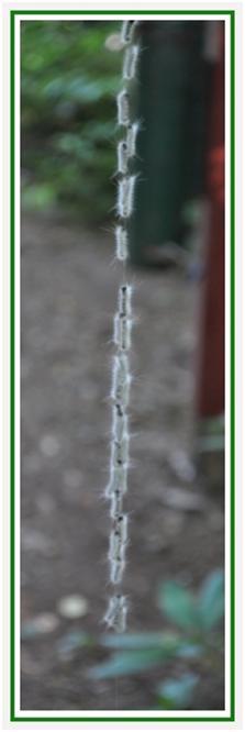 caterpillars on a silk thread
