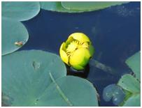 Yellow Pond Lily - Nuphar variegata