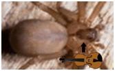 brown recluse violin