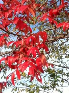 winged sumac leaves