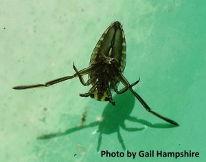 backswimmer insect