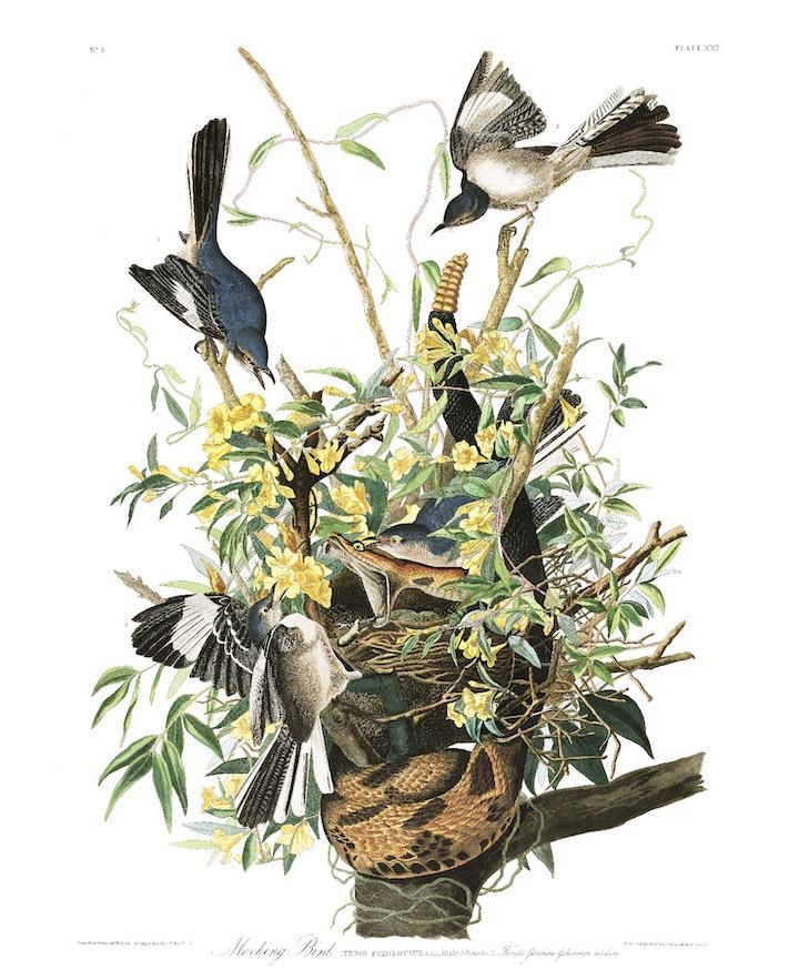 John James Audubon's drawing of the Northern Mockingbird for his Birds of America.