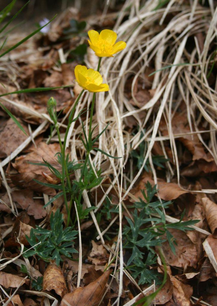 Ranunculus_pollinensis-Full