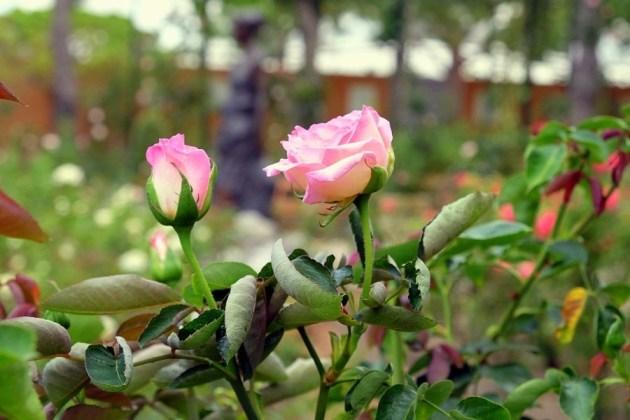 Именной цветок - «Grace de Monaco»
