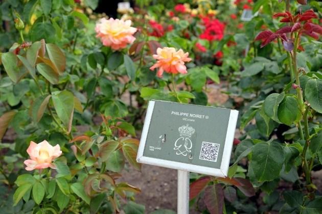 Крупнейшие питомники мира прислали свои лучшие сорта роз