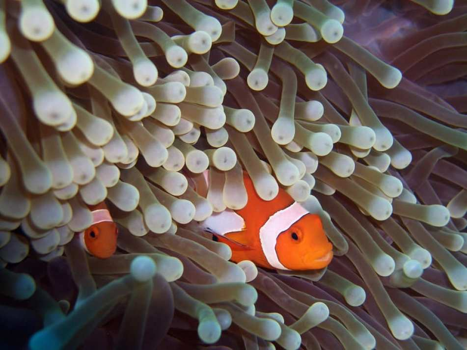 interesting facts about clownfish and sea anemone relationship
