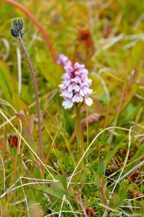 Brönugrös – Spotted-orchid – Dactylorhiza maculata