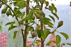 Perur – pears