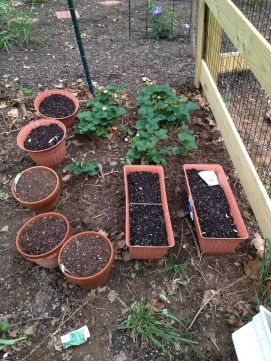 We transplanted strawberry plants from my Dad's garden to our yard. They'll grow back each year. The potted goodies are four different types of herbs: Sweet basil, Anise, Parsley and Chives! YUMMO!
