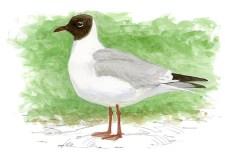 gaviota reidora Dibujo Juan Varela Seo Birdlife