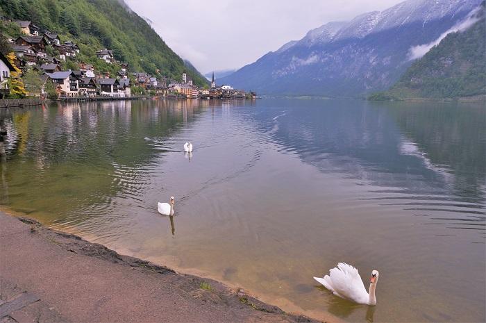 白鳥がかわいい。こっちに近づいてきた!湖畔に佇む町並みの美しさで世界遺産にも登録されているザルツカンマーグート地域の最奥にある小さくて静かな村・ハルシュタット。