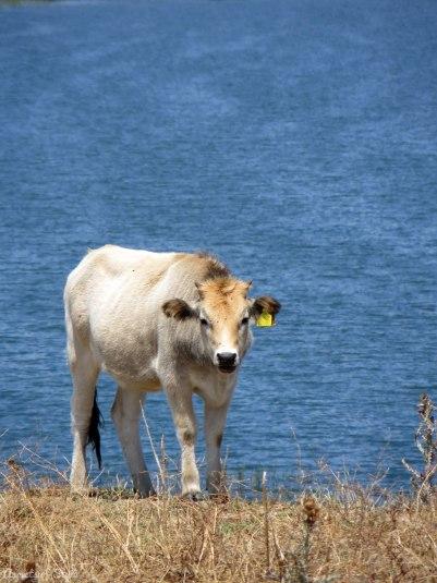 Cow in Agios Achilleios island in Small Prespa lake