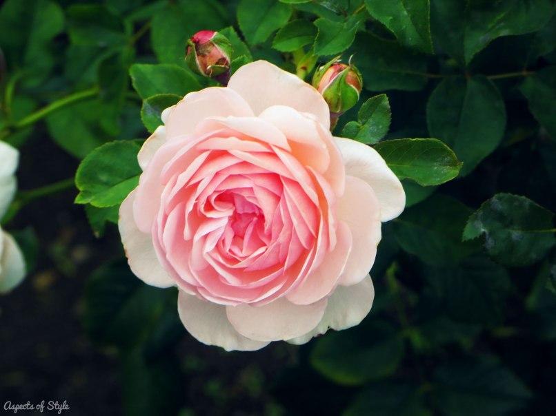 Pink rose in James P. Kelleher rose garden, Back Bay Fens