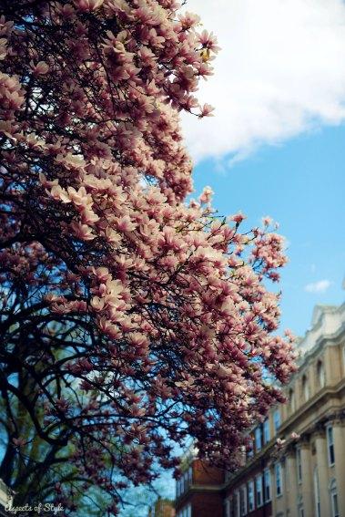 magnolias in Harvard