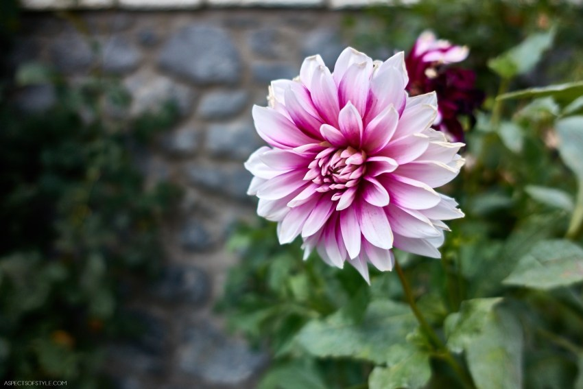 White and purple dahlia in Vytina, Peloponnese, Greece
